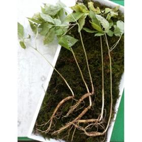 7년근산양산삼5뿌리(파지)