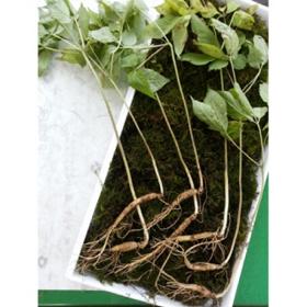 7년근산양산삼7뿌리(파지)