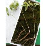 7년근산양산삼3뿌리(파지)