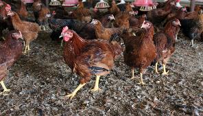 60일 이상 정성들여 키운 초록마을 친환경 토종닭 관련 이미지