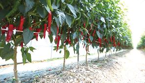 은은한 단맛과 감칠맛을 품은 햇고추의 맛 관련 이미지